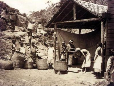 bringing_in_the_tea_leaf2c_darjeeling2c_1890