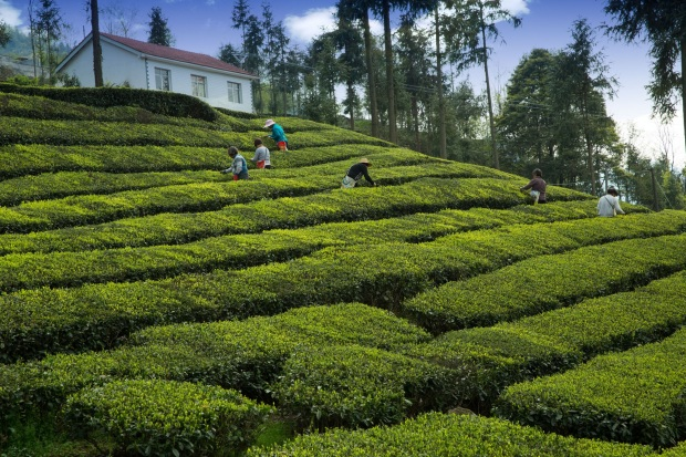 plant-field-lawn-flower-botany-agriculture-garden-shrub-plantation-hedge-rural-area-tea-garden-darjeeling-tea-tea-grower-wufeng-yichang-1391703