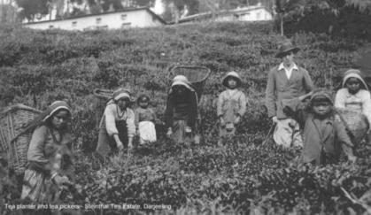 tea-planter_and_tea_pickers_steinthal_te_1930s_grande